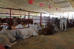 Выставка коровы Стоковое Фото
