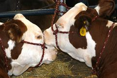 выставка коров стоковое изображение rf