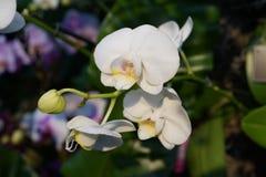 Выставка 2016 орхидеи 96 стоковые изображения