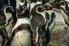Выставка пингвина в зоопарке Стоковые Фото