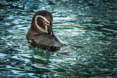 Выставка пингвина в зоопарке Стоковые Изображения RF