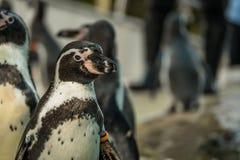 Выставка пингвина в зоопарке Стоковое Изображение RF