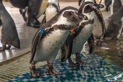 Выставка пингвина в зоопарке Стоковые Фотографии RF