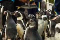 Выставка пингвина в зоопарке Стоковое Изображение