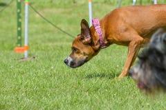 Выставка собак Стоковые Фото