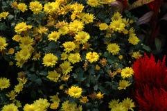 Выставка хризантемы Стоковое фото RF