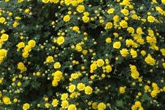 Выставка хризантемы Стоковые Изображения