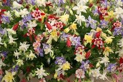 выставка цветка дисплея chelsea aquilegia Стоковая Фотография RF