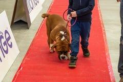 Выставка чистоплеменных собак на Palasettembre, Chiuduno BG 14-1 стоковые изображения rf