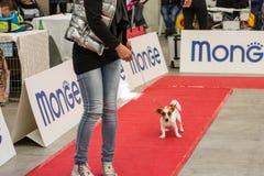 Выставка чистоплеменных собак на Palasettembre, Chiuduno BG 14-1 стоковое фото