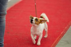 Выставка чистоплеменных собак на Palasettembre, Chiuduno BG 14-1 стоковое фото rf