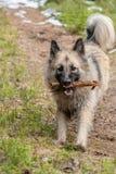 Выставки собак ее зубы с ручкой в ее рте Стоковые Изображения
