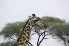 Выстрел в голову жирафа Стоковая Фотография