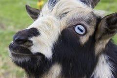Выстрел в голову козы Стоковое Изображение RF