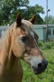 Выстрел в голову лошади Стоковые Фото