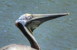 Выстрел в голову профиля пеликана Флориды Брайна Стоковая Фотография