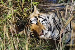 Выстрел в голову дремая тигра Стоковое Фото