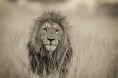 Выстрел в голову льва стоковое изображение