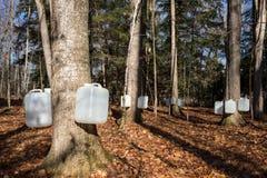 Выстукивая деревья клена сахара для сока Стоковая Фотография RF