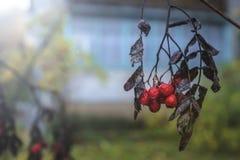 Высушенная ветвь красного aucuparia рябины рябины в расплывчатом backg Стоковая Фотография RF