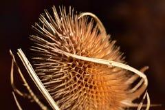 Высушенная голова цветка ворсянки Стоковая Фотография