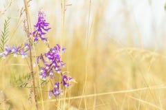 Высушенная желтая трава и gentle голубые цветки в поле на солнце Стоковая Фотография