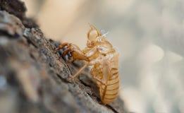 Высушенная кора цикады на дереве стоковые фото