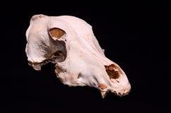 Высушенная косточка черепа собаки Стоковое фото RF