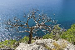 Высушенная реликвия сосны на предпосылке моря стоковое фото