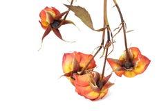 Высушенная роза апельсина иллюстрация вектора