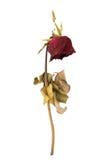 Высушенная роза изолированная на белой предпосылке Стоковое Изображение