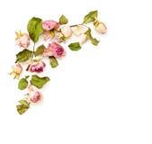 Высушенная розовая доза цветет угловое расположение Стоковые Фото