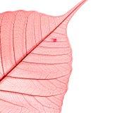 высушенная текстура листьев peepal запятнанная Стоковое Фото