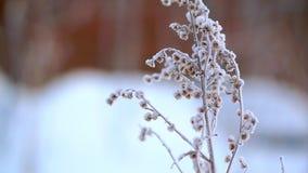 Высушенная трава в снеге и заморозке, очень холодных Строгий заморозок в Аляске акции видеоматериалы
