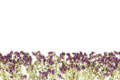 Высушенная хризантема Стоковое Изображение