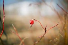 Высушенная ягода одичалого подняла на ветвь Стоковые Фотографии RF