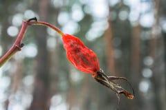 Высушенная ягода плодов шиповника на предпосылке зимы с влиянием bokeh Стоковые Фотографии RF