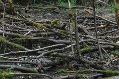Высушенное болото с старыми черными ветвями дерева цвета с мхом лежа o Стоковые Фотографии RF