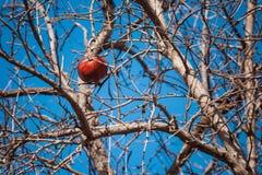 Высушенное гранатовое дерево на дереве Стоковые Изображения