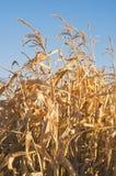 Высушенное кукурузное поле против голубого неба Стоковые Изображения RF