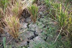 Высушенное поле риса Стоковые Изображения RF