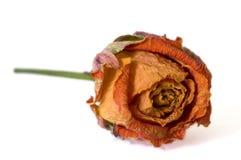 высушенное розовое поднимающее вверх Стоковое Фото