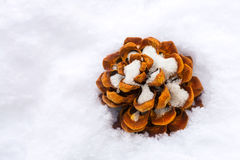 Высушенное семя конуса хвои коричневой сосны на снеге во время зимы Стоковая Фотография