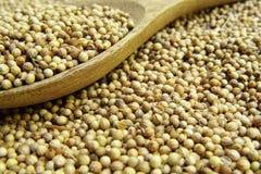 Высушенное семя кориандра стоковое изображение