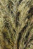 Высушенные ветви ели для ванн и саун Стоковые Фото