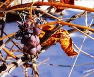 Высушенные виноградины вися на стержне Стоковая Фотография RF