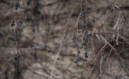 Высушенные виноградины Стоковая Фотография RF