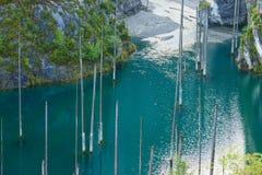 Высушенные-вне хоботы погруженных в воду деревьев спруса Schrenk's которые поднимают над water's отделывают поверхность от дн Стоковые Фото