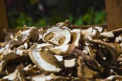 Высушенные грибы плюшки Пенни Стоковые Фотографии RF