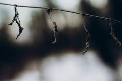 Высушенные заводы коричневейте высушенные листья трав близко вверх в снежной зиме Стоковое Изображение